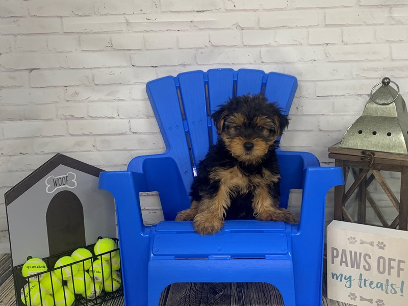 Yorkshire Terrier-Male-BLK TAN-3171581-Petland Knoxville
