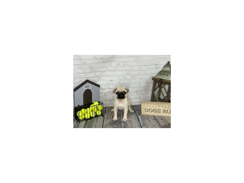 Pug-Male-Fawn-3192057-Petland Knoxville