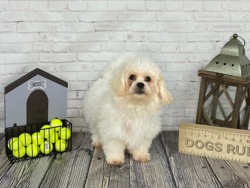 Teddy Bear-Male-CREAM WH-3120711-Petland Knoxville