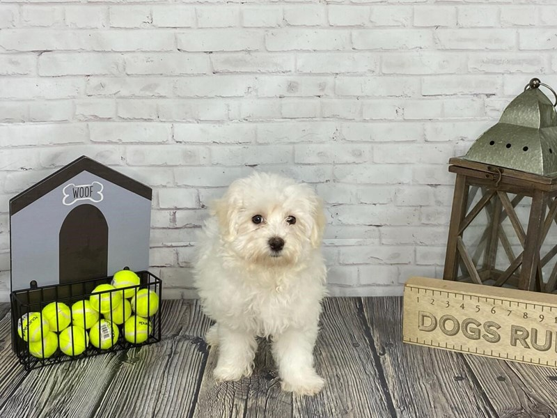 Maltese-Male-WH-3142201-Petland Knoxville