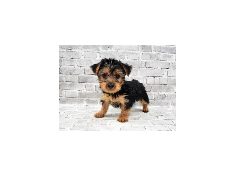 Yorkshire Terrier-Male-Black and Tan-3229008-Petland Knoxville