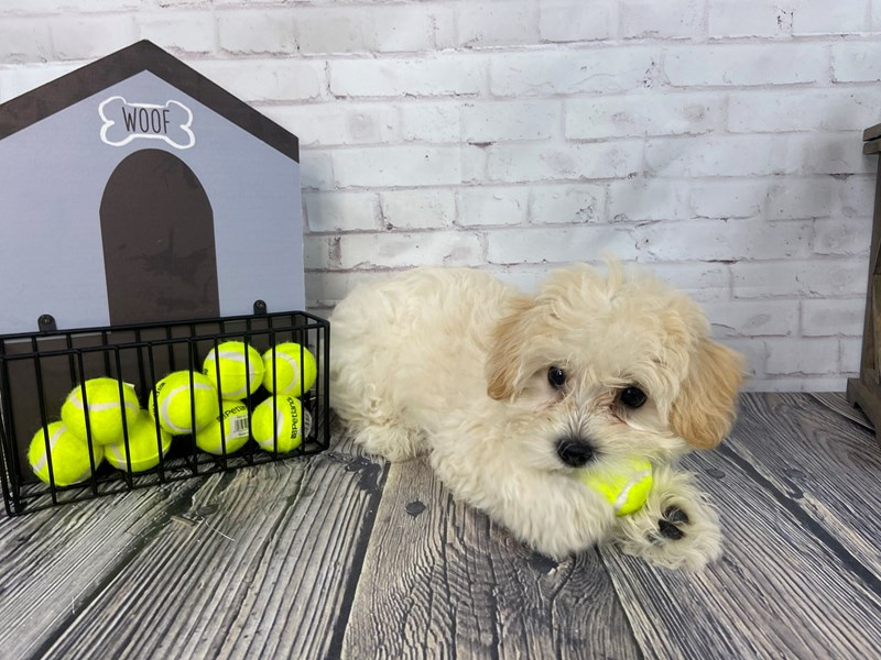 Schnoodle-Female-Cream-3202891-Petland Knoxville