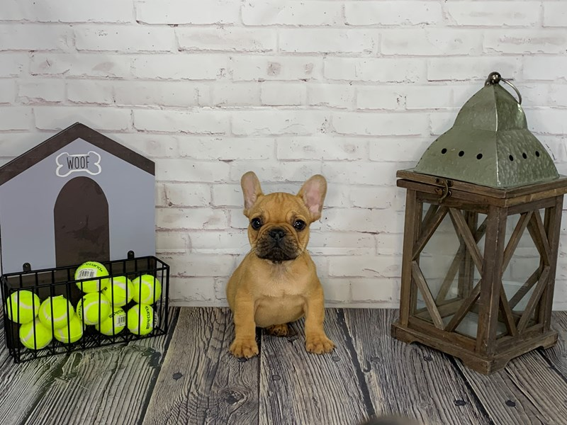French Bulldog-Male-Fawn-3239646-Petland Knoxville