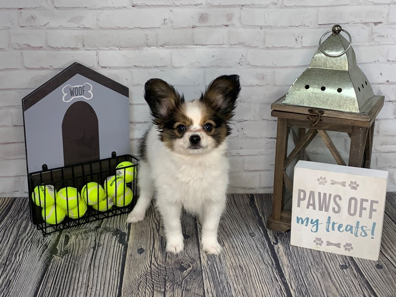 Papillon-Female-White and Sable-3229026-Petland Knoxville