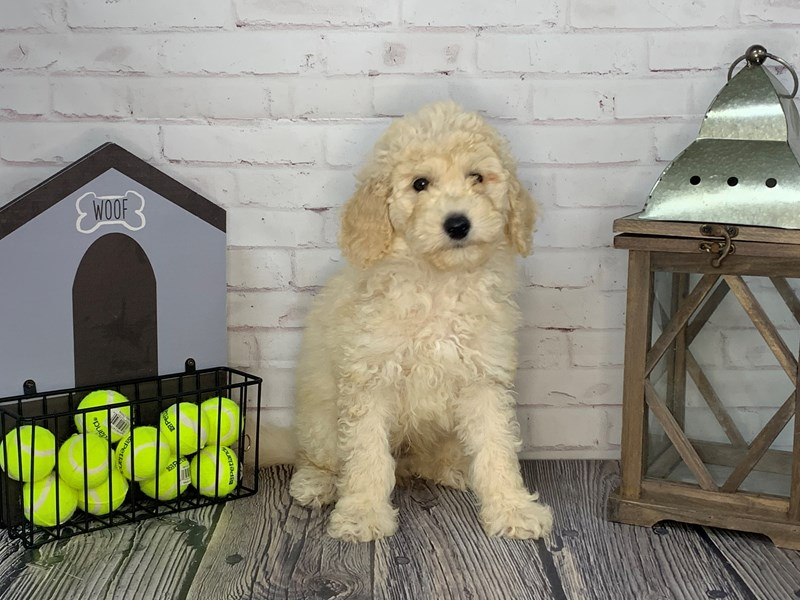 Goldendoodle-Male-Cream-3250610-Petland Knoxville