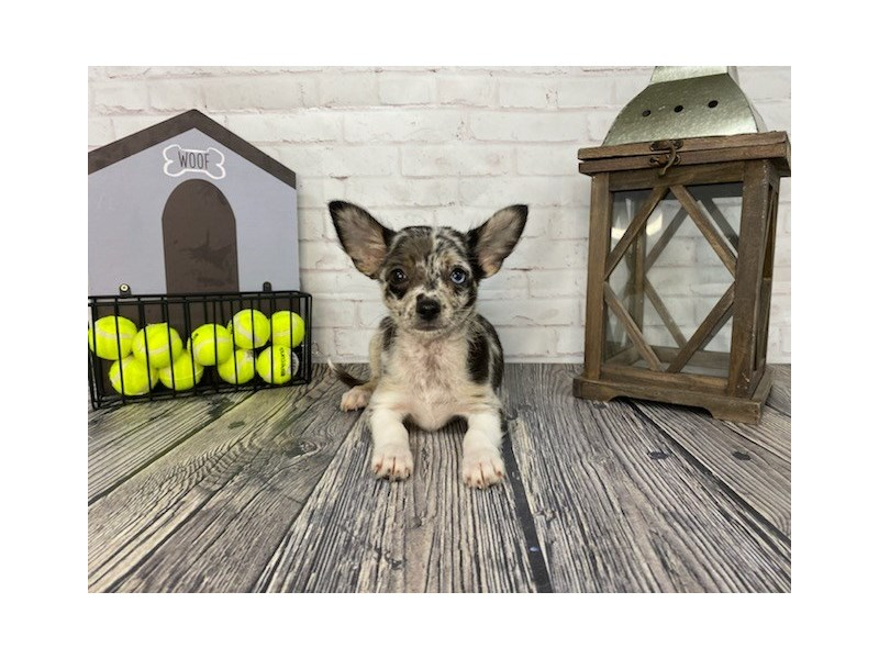Chihuahua-Female-Blk&wht-3260917-Petland Knoxville