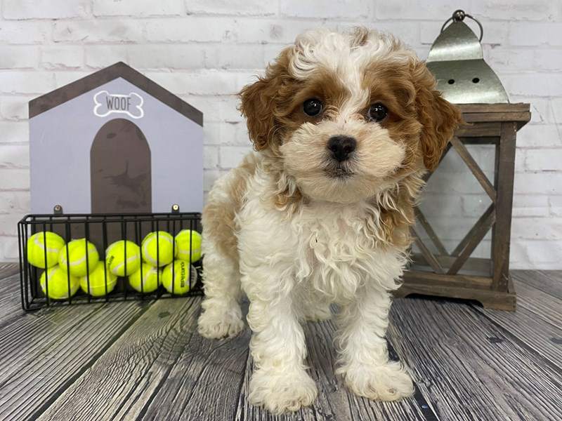 Shih Poo-Female-Rd & Wht-3258960-Petland Knoxville