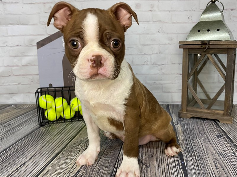 Boston Terrier-Male-Seal/Wht-3262180-Petland Knoxville