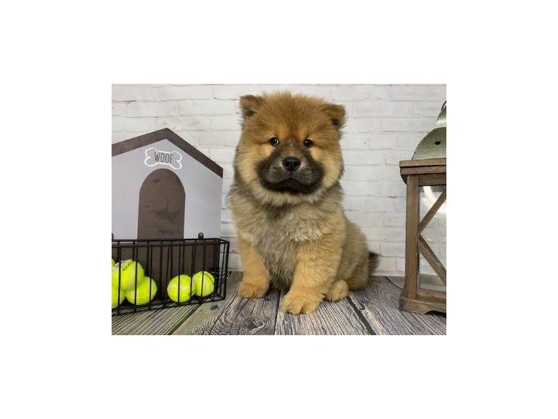 Chow Chow-DOG-Male-Blue Fawn-3271502-Petland Knoxville