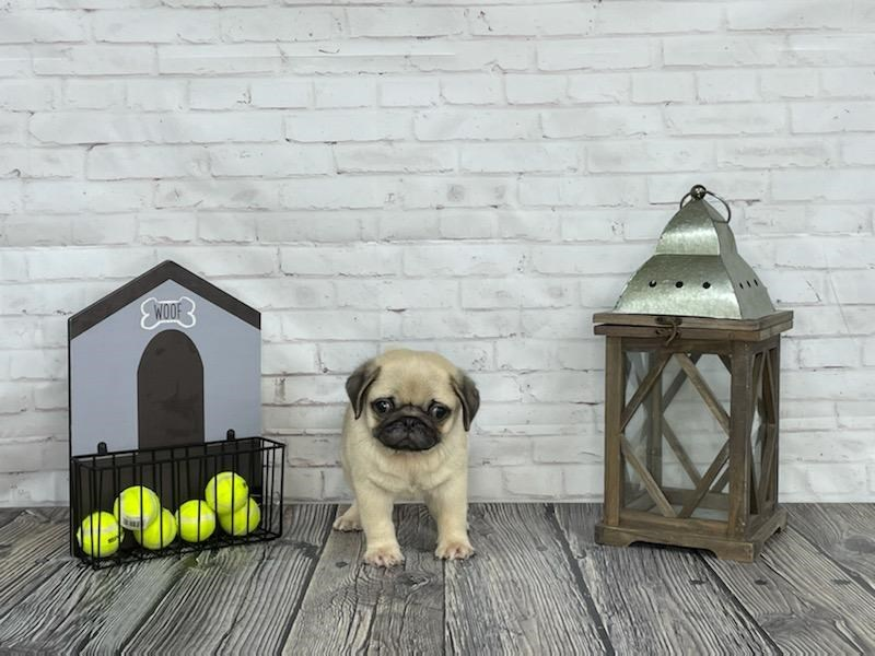 Pug-Male-Fawn-3278300-Petland Knoxville