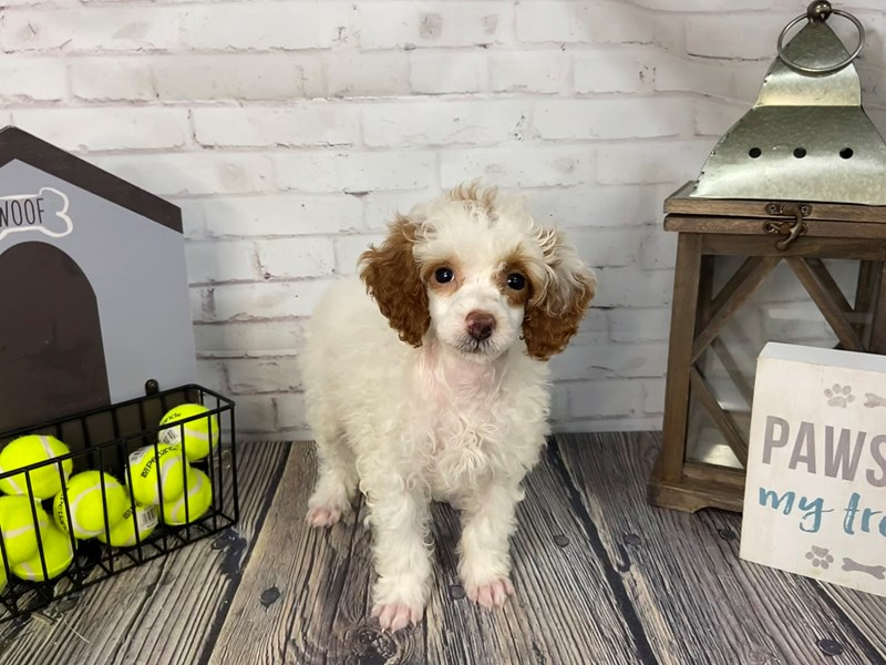Poodle-Female-White-3232719-Petland Knoxville