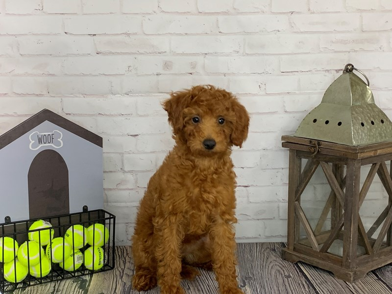 Miniature Poodle-Female-Red-3241024-Petland Knoxville