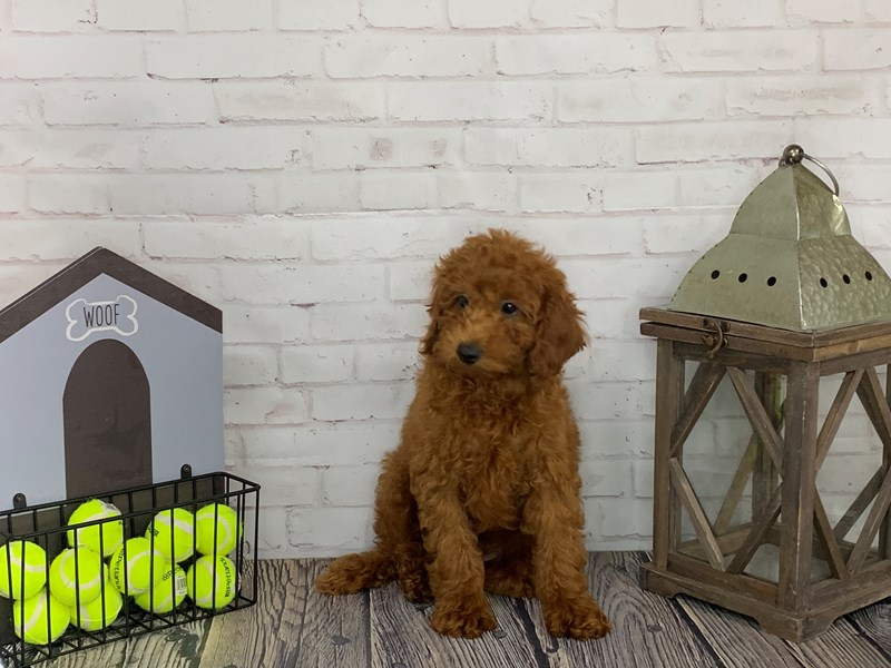 Miniature Poodle-Male-Red-3241009-Petland Knoxville