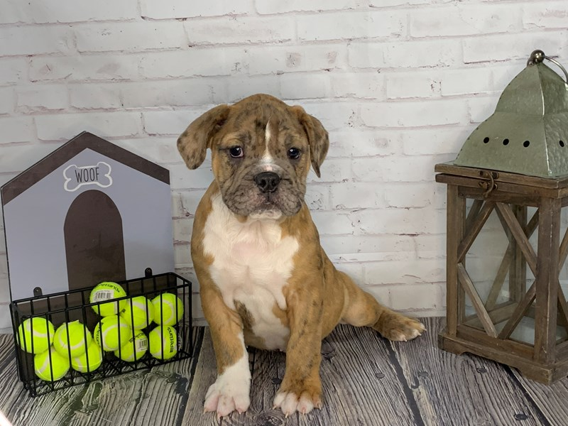 Olde English Bulldogge-Male-Red-3239641-Petland Knoxville