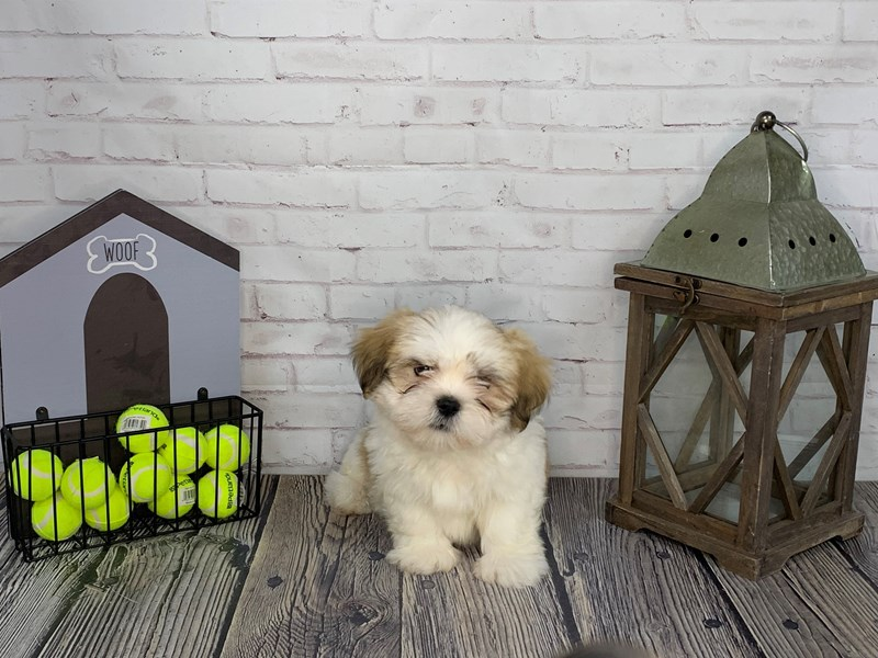 Lhasa Apso-Male-Golden-3239647-Petland Knoxville