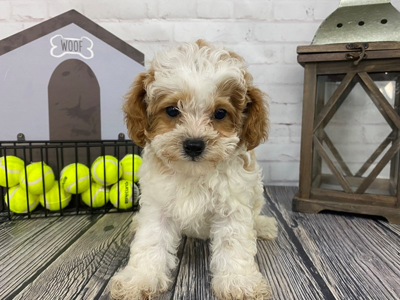 Shih Poo-Female-Rd & Wht-3258976-Petland Knoxville