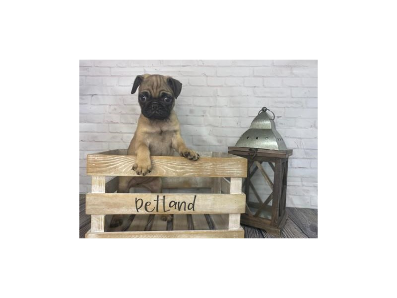Pug-Female-Fawn-3248913-Petland Knoxville