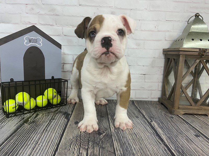 English Bulldog-Male-Red and White-3276464-Petland Knoxville