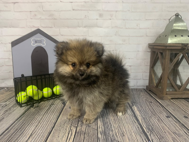Pomeranian-Male-Wolf Sable-3286715-Petland Knoxville