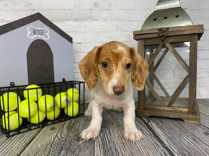 Dachshund-Male-RED-3316861-Petland Knoxville