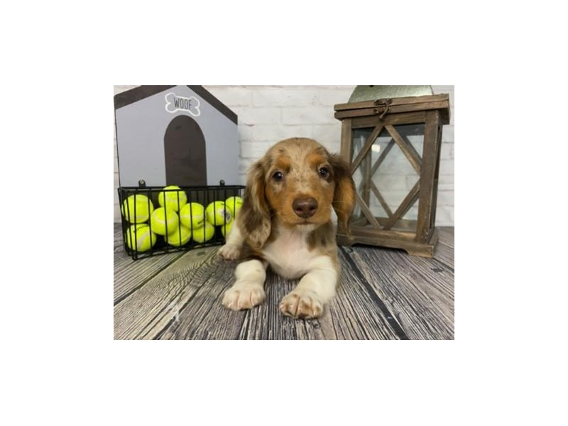 Dachshund-Male-brown-3316845-Petland Knoxville