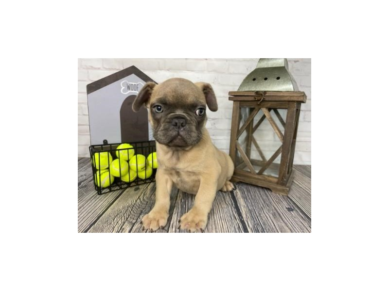 French Bulldog-Male-Blue Fawn-3316142-Petland Knoxville