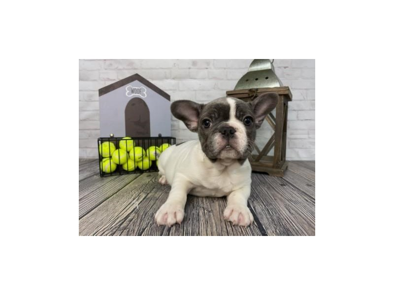 French Bulldog-Male-Blue-3316166-Petland Knoxville
