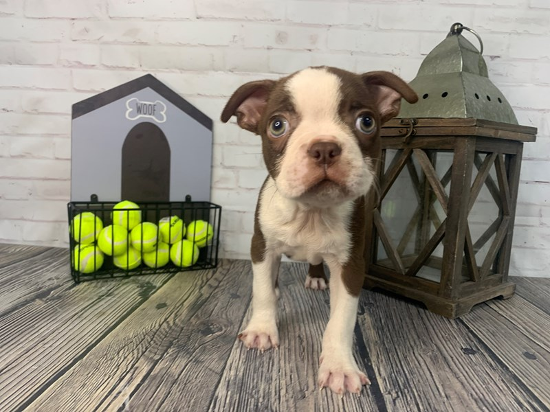 Boston Terrier-Male-RED-3325576-Petland Knoxville