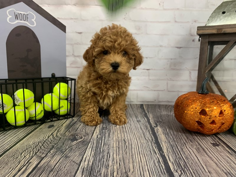 Miniature Poodle-Male-RUBY-3344318-Petland Knoxville